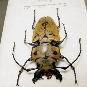 Trictenotoma childreni Male Stag Beetle Species: Trictenotoma childreni male Common Name: Stag Beetle Origin: Indonesia Frame size: 4″x 5″