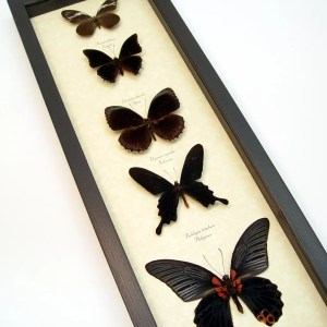 Black Butterfly Collection Real Framed Butterflies ooak