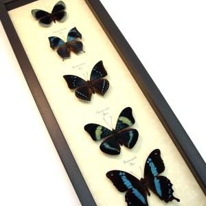 Blue Green Butterfly Collection Real Framed Butterflies ooak