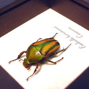 Eudicella hornimanni Female Orange African Beetle