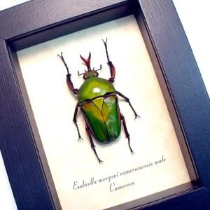 Eudicella morgani camerunensis Male Gold African Beetle ooak