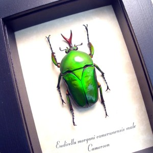 Eudicella morgani camerunensis Male Green African Beetle ooak