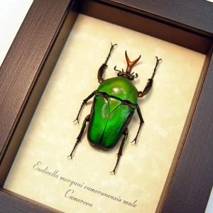 Eudicella morgani camerunensis male Dark Green African Beetle ooak