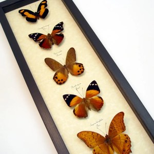 Golden Sunrise Butterfly Collection Real Framed Butterflies ooak