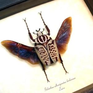 Goliathus albosignatus kirkianus Flying Scarab Beetle ooak