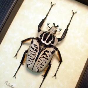 Goliathus albosignatus kirkianus 56mm Scarab Beetle ooak