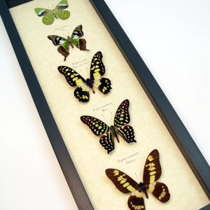 Green Butterfly Collection Real Framed Butterflies ooak