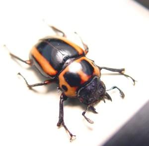 Homoderus mellyi Female Ghoul Face False Eyes Beetle