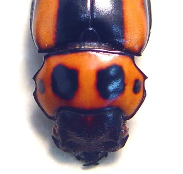 Homoderus mellyi Female Creepy Death Head Beetle Ghoul Face