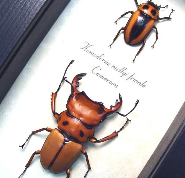 Homoderus mellyi Pair Hummer Beetles
