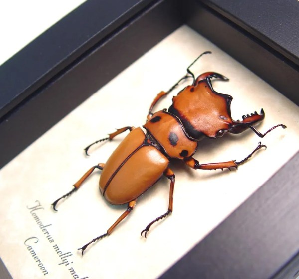 Homoderus mellyi Male 52mm Hummer Beetle