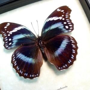 ooak Hypolimnas antevorta Purple African Butterfly