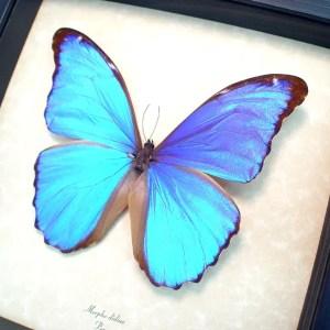 OOAK Morpho didius Giant Blue Morpho Butterfly
