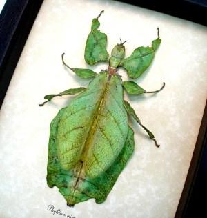 ooak Phyllium giganteum Female Walking Leaf Insect