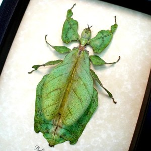 ooak Phyllium giganteum Female Walking Leaf Insect