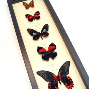 Red Butterfly Collection Real Framed Butterflies ooak