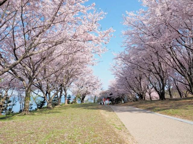 2017 桜5