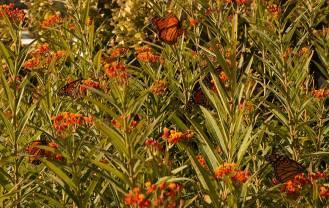 monarchs-milkweed