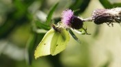 Common Brimstone (Gonepteryx rhamni) feeding on Melancholy Thistle