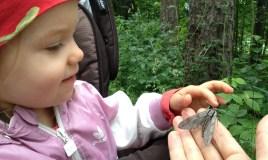 Getting a close look at a Pine Hawk-moth (Sphinx pinastri)
