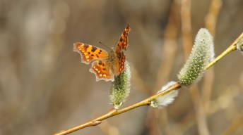 The Comma on willow blossom