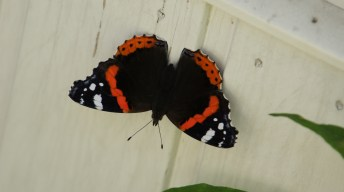 Newly hatched Red Admiral