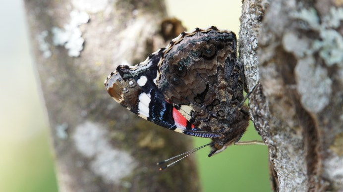 Close-up on a Red Admiral