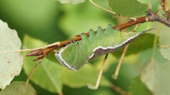 Caterpillar of the Puss Moth shortly before pupating