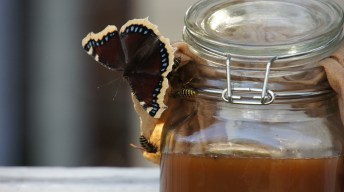 Mourning Cloak at the Butterfly Bar