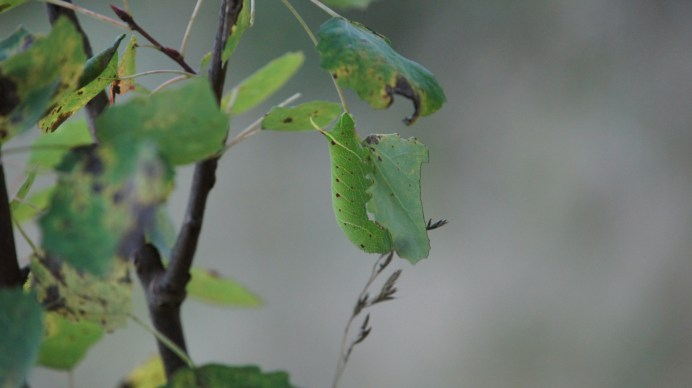Caterpillar of the Poplar Hawk-moth on aspen