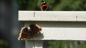 Mourning Cloak and Red Admiral