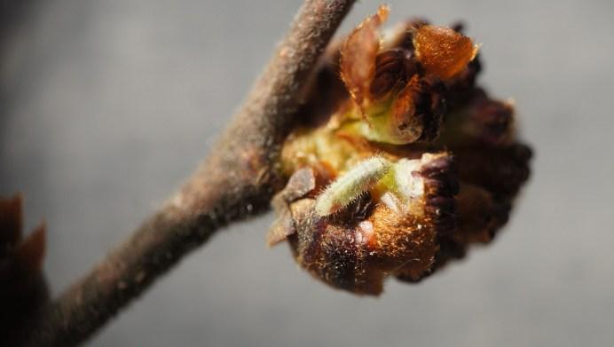 Caterpillar of the White-letter Hairstreak