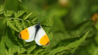 Orange Tip, male
