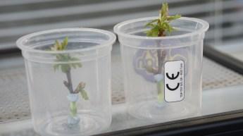 Raising setup for young Purple Hairstreak caterpillars