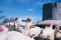 Farm: Focus On Single Turkey By Feeding Trough