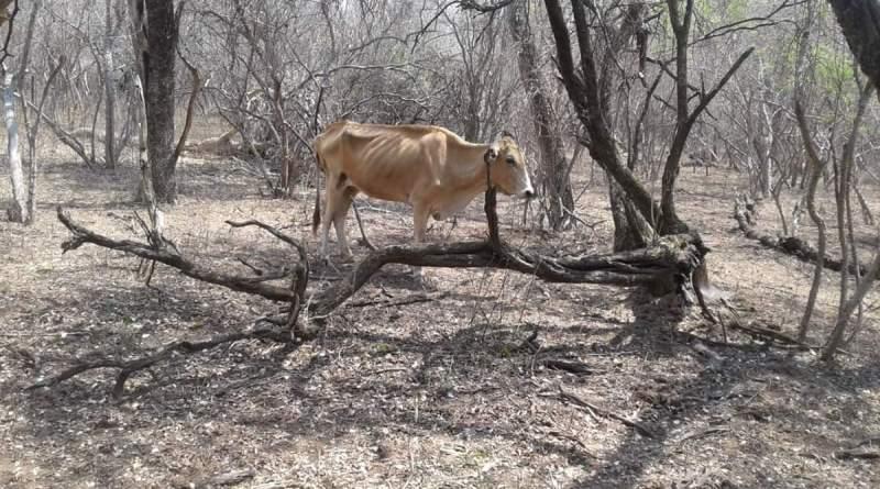 Alerta por sequías en el Chaco Salteño: pestes y muerte de animales por falta de agua