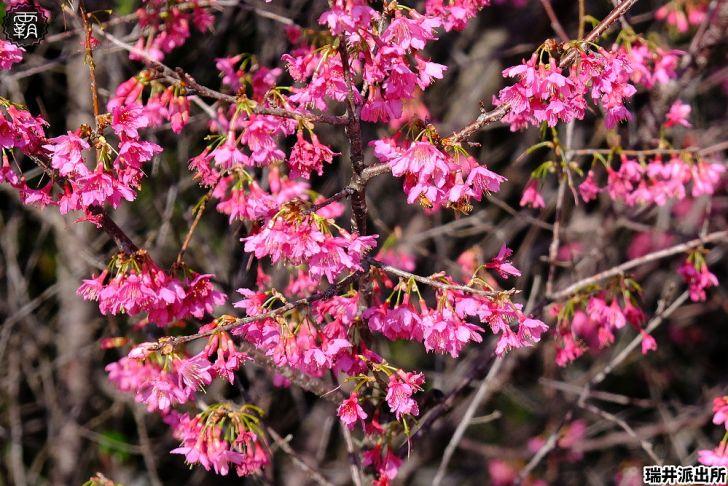 20210215000902 17 - 台中這間派出所旁有櫻花盛開中,瑞井派出所賞櫻秘境,櫻花好拍好入鏡~