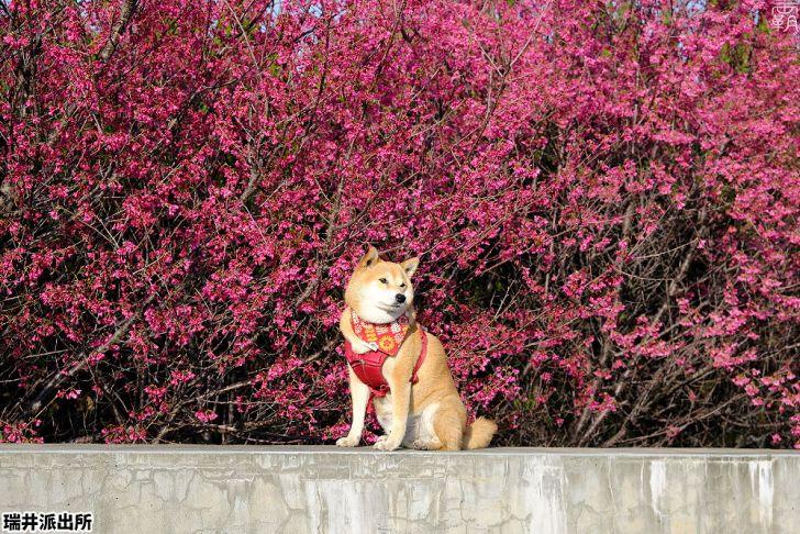 20210215001348 2 - 台中這間派出所旁有櫻花盛開中,瑞井派出所賞櫻秘境,櫻花好拍好入鏡~