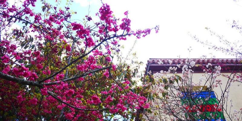 梨山文物陳列館,中橫公路開發史的藏館,看到綻放的山櫻花真是額外的小驚喜!