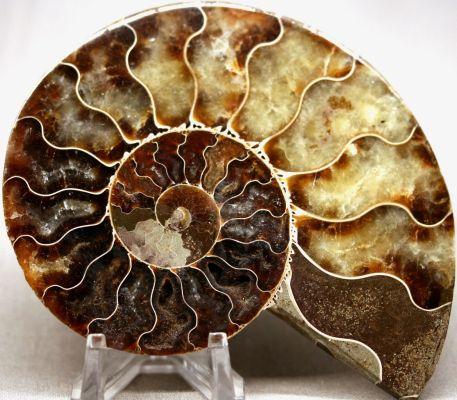 fengshui-ammonite