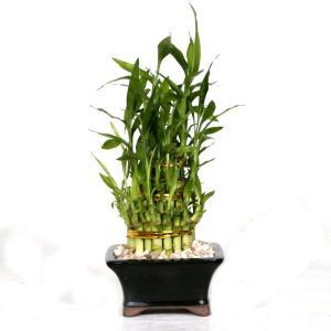 fengshui-luckybamboo