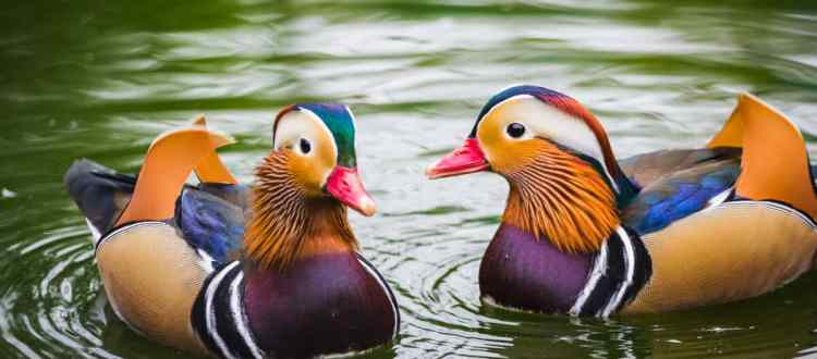 fengshui-mandarin-ducks