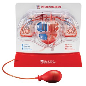 Learning Resources - Pumping Heart Model - 300mm x 270mm
