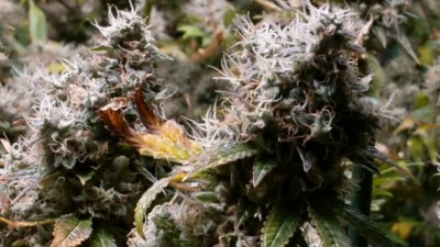 Chewbacca marijuana – grown with the Best hydroponic nutrients