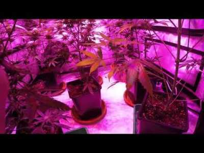 How I water my plants, Biobizz Nutrients and Molasses To improves a poor Dinafem yield, Deep Cheese