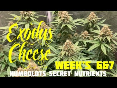 Humboldts Secret Nutrients Seed To Harvest Exodus Cheese Week's 6&7