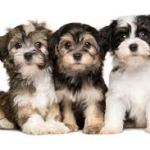 Havanese Puppies For Sale – The Perfect Family Pet