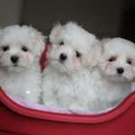 Puppies for Sale: Right Canine Marketplace for Puppies for Sale
