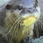 密輸業者がSNSでタイなどの東南アジアからコツメカワウソを違法取引している実態。かわいいけれど絶滅危惧種。購入しペットや商売道具にして最期まで飼えますか?