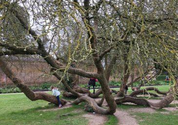 Buzymum - Climbing trees at Cliveden National Trust